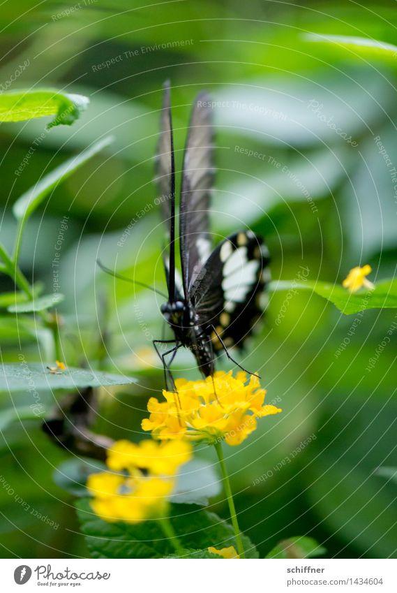 Dünnes Zebra Pflanze grün Blume Tier gelb Blüte fliegen Insekt Schmetterling exotisch Zoo frontal Nahrungssuche