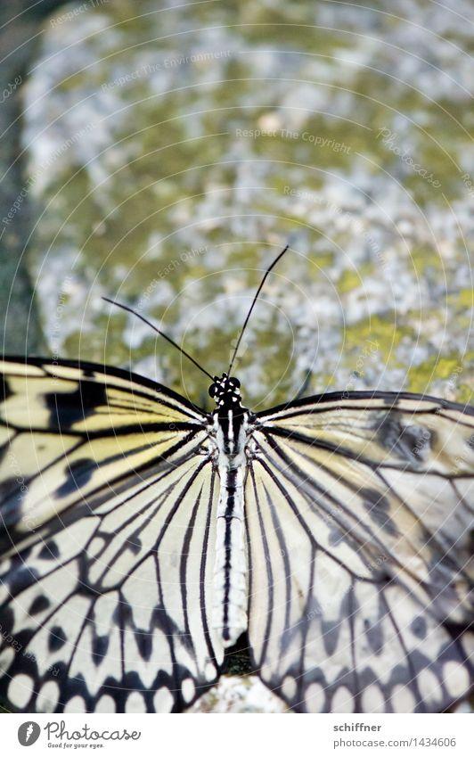 Vergänglichkeit Tier Schmetterling 1 alt Tarnung Muster Flügel Fühler Stein Steinboden Außenaufnahme