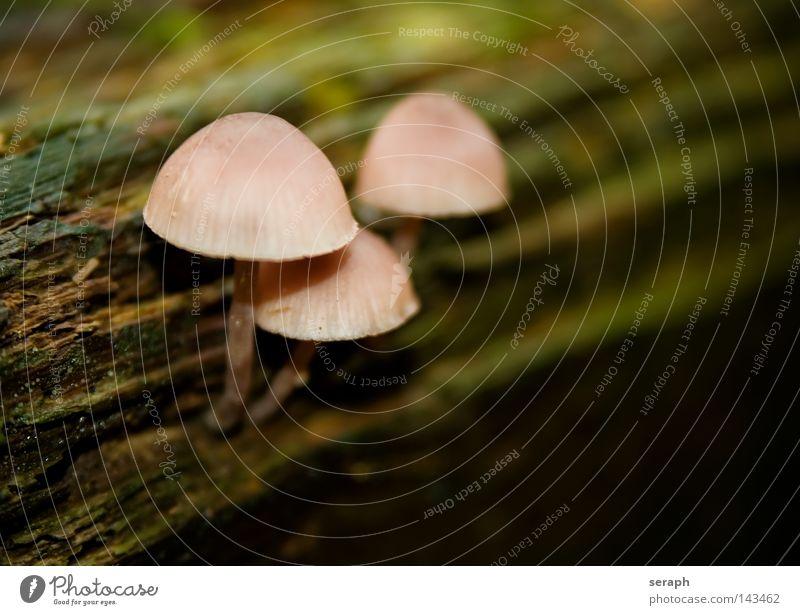 Waldbewohner grün weiß Sporen Halm Bodendecker Grünpflanze Gift Zusammensein Anhäufung Stil Knolle Pilz Pilzhut Baseballmütze Unschärfe Hintergrundbild Umwelt