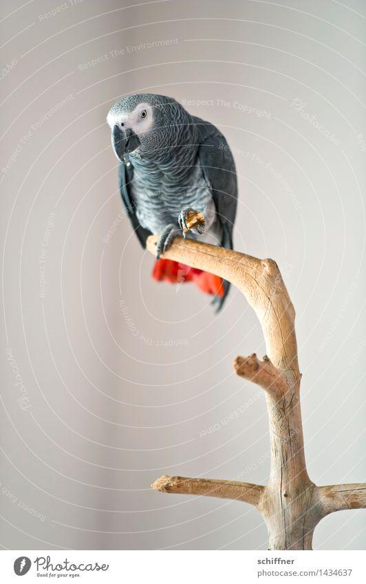 Coco Fischer Tier Haustier Vogel 1 grau rot Papageienvogel Graupapagei Futter Fressen Ast laut Innenaufnahme Menschenleer