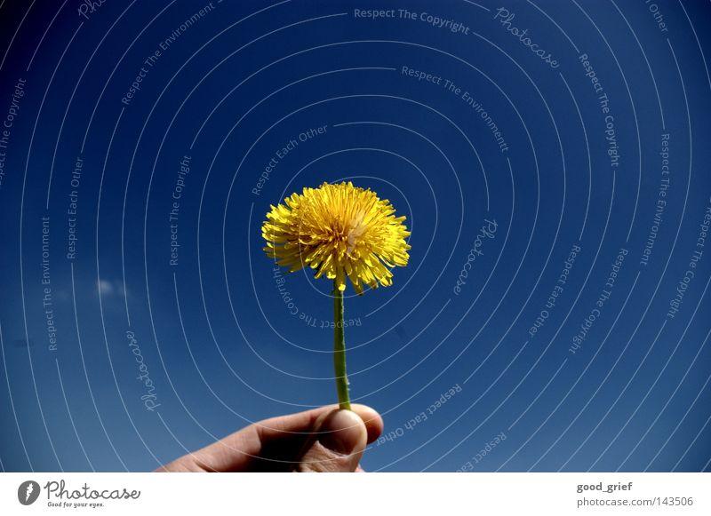 Taraxacum sect. Ruderalia Löwenzahn Blume Gänseblümchen Frühling Sommer Hand Finger Daumen Zeigefinger Fingernagel gelb grün taraxacum Himmel blau