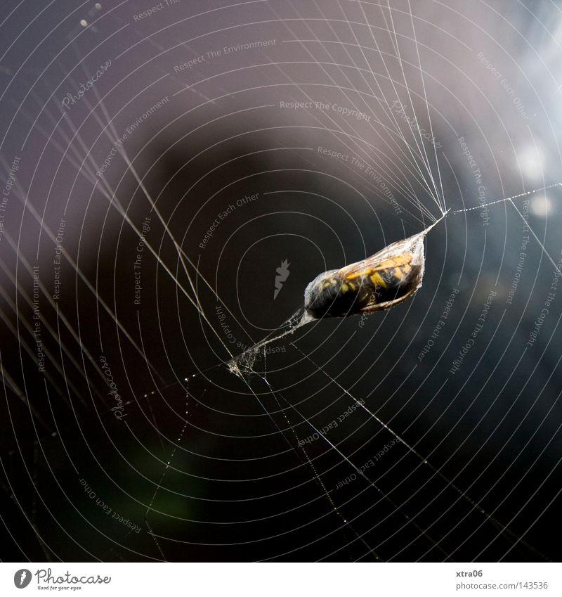gefangen Biene Netz Spinne Futter Spinnennetz Wespen einfangen