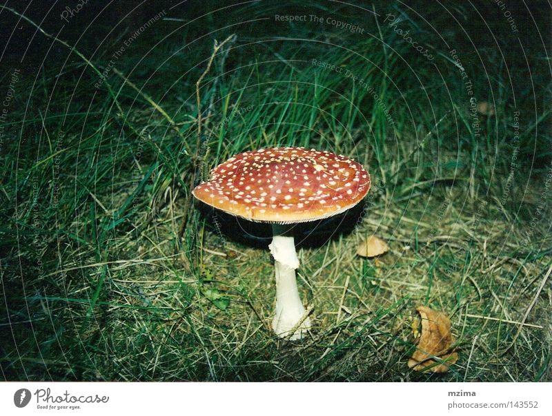 ein männlein steht im walde... weiß rot Wiese ästhetisch Pilz Fliegenpilz