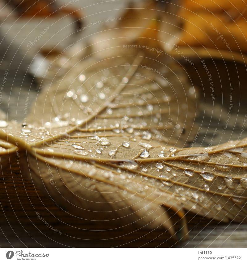 Tröpfchen auf Blatt Natur Pflanze Wasser Wassertropfen Herbst Wetter Park Wald Menschenleer außergewöhnlich frisch kalt natürlich schön braun gelb grau schwarz
