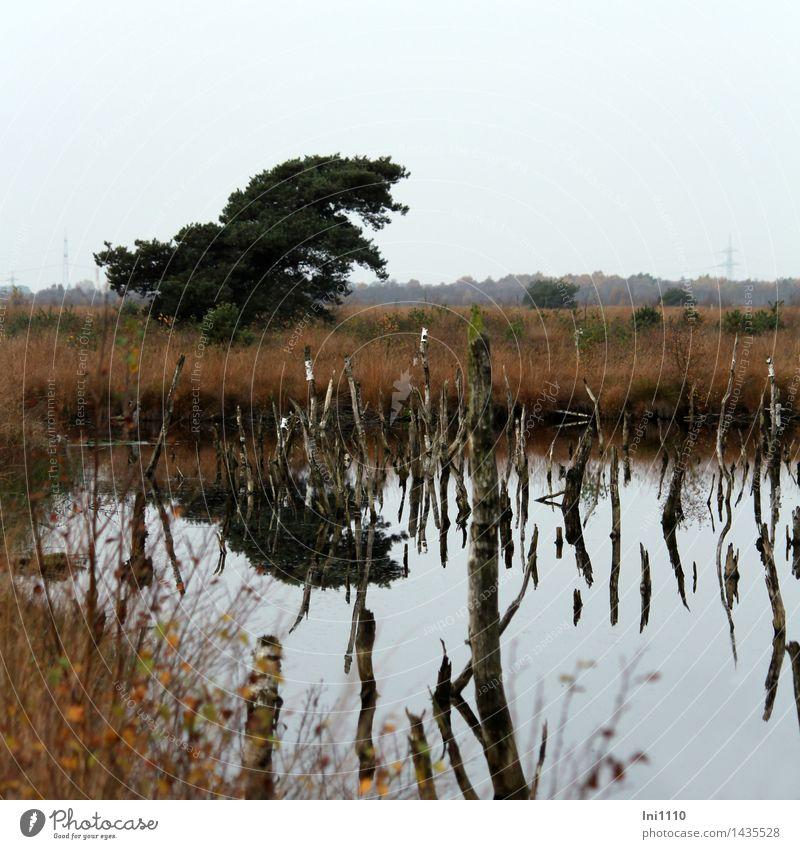 Moorkiefer Natur Landschaft Pflanze Wasser Herbst Wetter Baum Gras Wildpflanze Kiefer und abgestorbene Birken Sumpf Teich dunkel gruselig nass natürlich blau