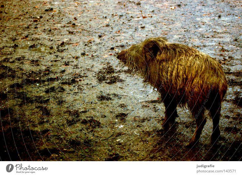 Kleines Schwein Wildschwein klein Tier Säugetier Schlamm dreckig Erde nass Regen Herbst Einsamkeit Farbe Läufer schwarzwild struppig Tierjunges