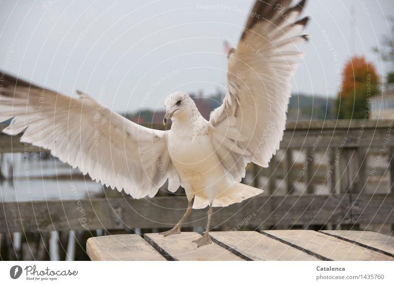 Freche Möve Meer Natur Tier Wildtier Vogel Flügel Möwe 1 Feder fliegen Neugier wild schwarz weiß Appetit & Hunger Farbfoto Gedeckte Farben Außenaufnahme