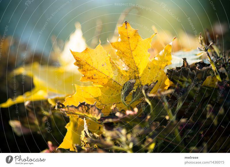letztes Herbstleuchten elegant Stil Natur Erde Schönes Wetter Herbstlaub verdörrte Blätter Blatt Pflanzenteile Garten Park Farbfleck Lichtspiel Lichteinfall