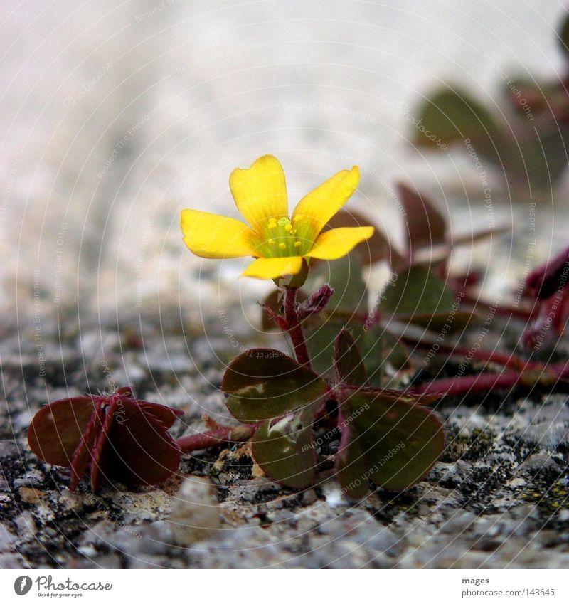 Blüte Blume Blüte Stein einzeln Schwäche wüst Klee Pionier Steinwüste