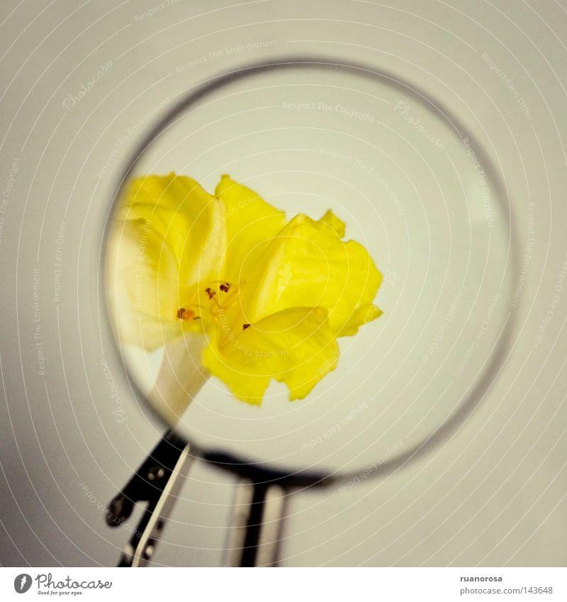 Plus Blume gelb Lupe Reifezeit zerbrechlich Linse Wachstum Blüte Glas Kristalle Pflanze vergrößert