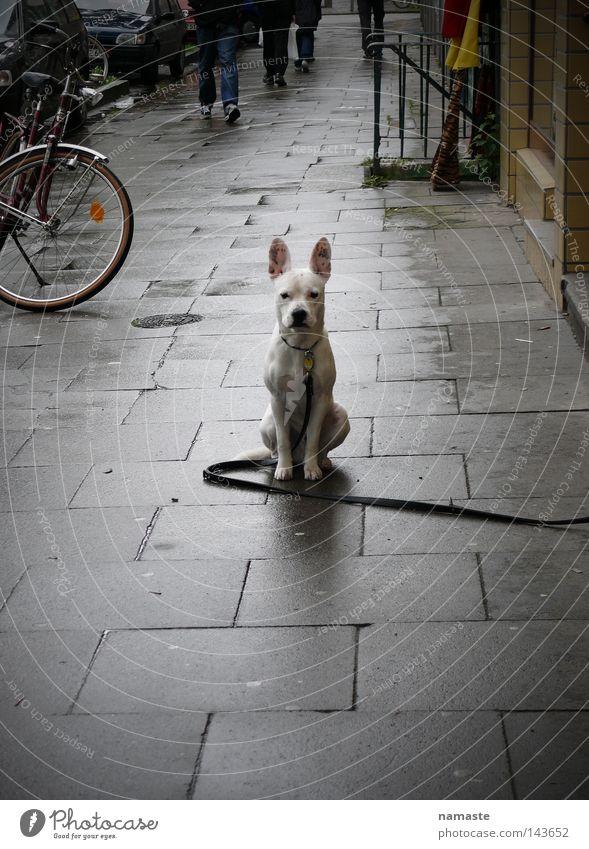 hamburgerdog Hund weiß schön Tier Straße Wege & Pfade Angst Bürgersteig Barriere Aggression Hundeleine Dogge Schanzenviertel Straßenhund