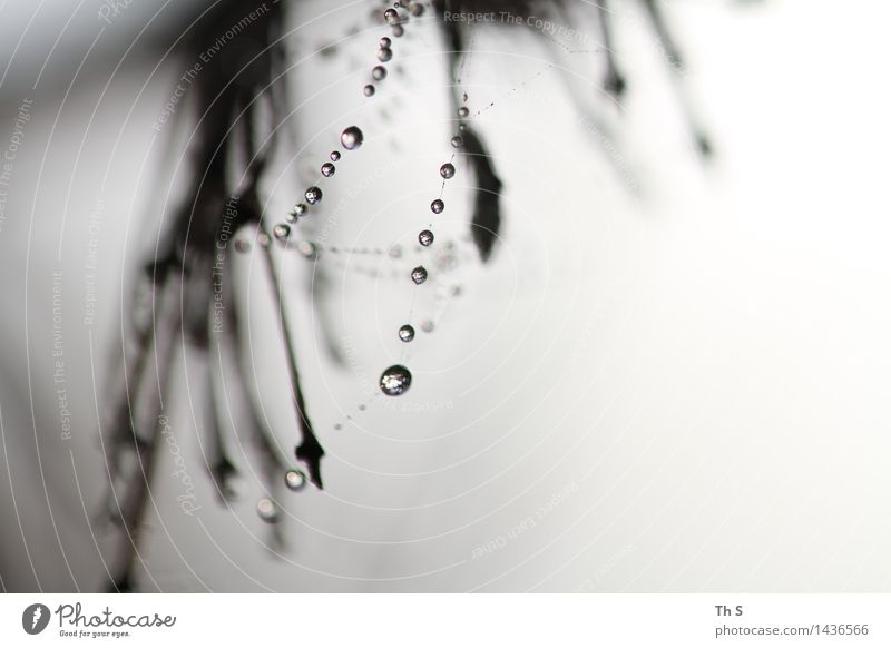 Morgentau Natur Pflanze Wassertropfen Herbst Winter ästhetisch authentisch außergewöhnlich elegant fantastisch nass natürlich grau schwarz weiß Gelassenheit
