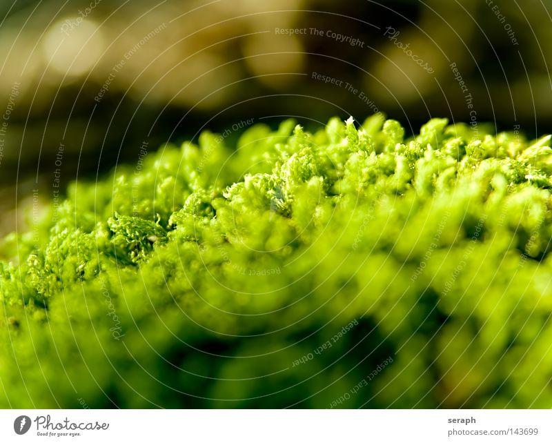 Bryophyta Pflanze grün zart Muster Hintergrundbild Laubmoos Blatt Bodendecker Sporen Umwelt Umweltschutz Symbiose weich Unschärfe dunkel Stil Licht Nest klein