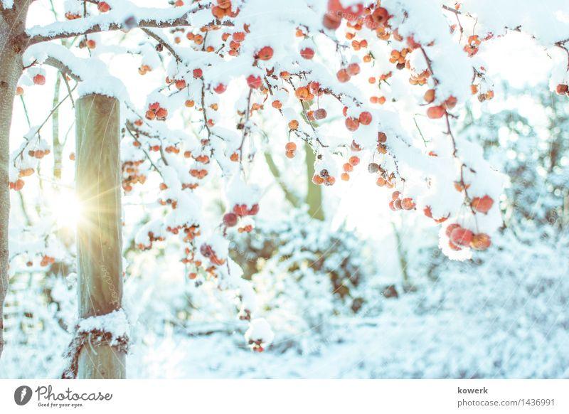 Schneebeeren Landschaft Winter Schönes Wetter Baum Sträucher blau gelb orange Schneelandschaft Schneebedeckt Sonnenstrahlen Sonnenaufgang Farbfoto Außenaufnahme