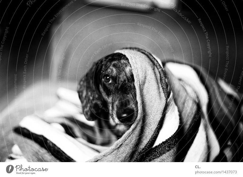 carlson Häusliches Leben Tier Haustier Hund Tiergesicht Dackel 1 Decke Neugier niedlich Tierliebe Schwarzweißfoto Innenaufnahme Menschenleer Tag