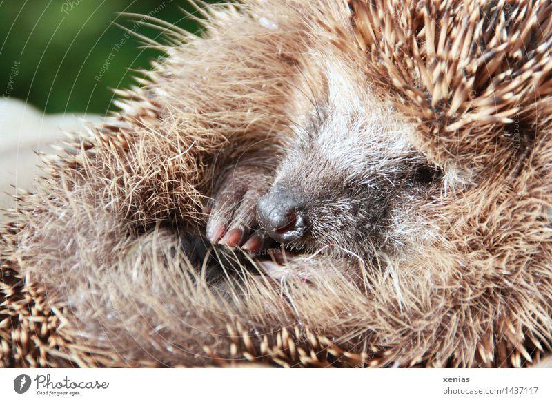 Kleiner Igel Tier Krallen Erinaceus europaeus Säugetier schlafen rund stachelig braun Winterschlaf hedgehog niedlich Natur Lebensraum Tierporträt Garten