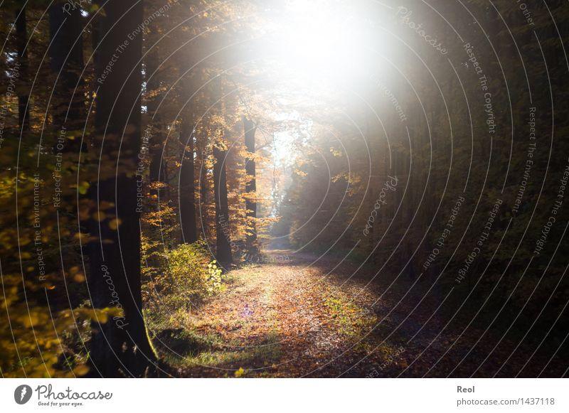 Herbstsonne Natur Landschaft Urelemente Sonne Sonnenlicht Schönes Wetter Baum Blatt Buche Wald Buchenwald Wege & Pfade Fußweg Schotterweg hell wild braun