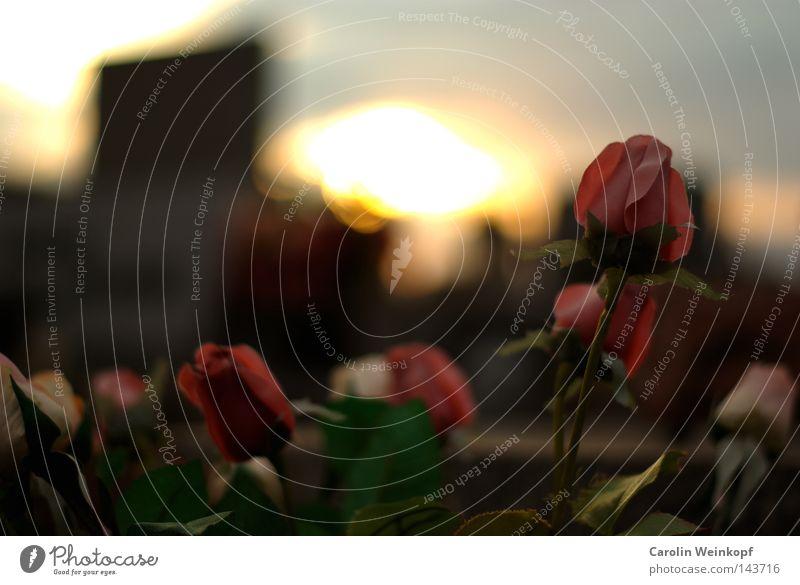 Plastic Flowers on a French graveyard. Sonnenuntergang Abendsonne rosa Rose grün Friedhof Tod verfallen Rücken Himmel Dämmerung Plastikrose Plastikrosen