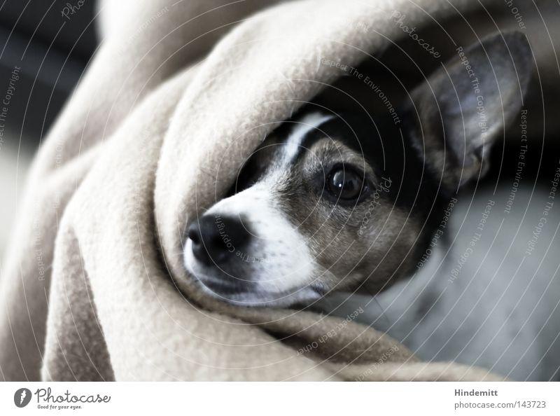 Sophie Hund Decke Auge lang vertikal schwarz weiß braun scheckig gefleckt Falte Schnauze Nase Neugier zögern beleidigt Schüchternheit Morgen aufwachen