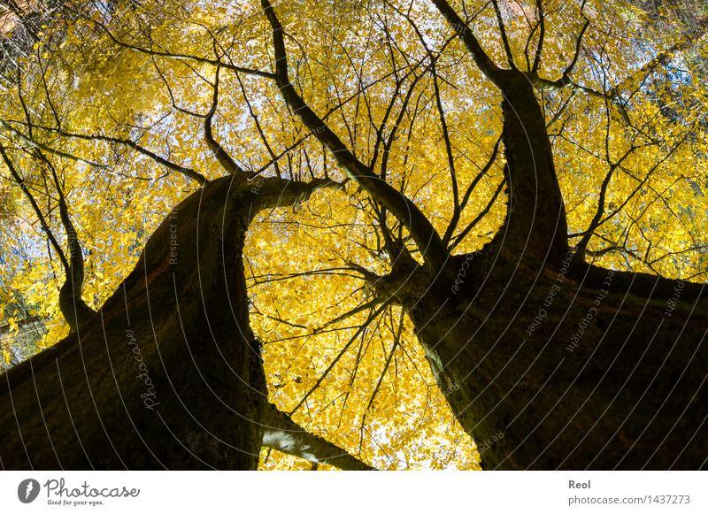 Baumwelten III Umwelt Natur Pflanze Herbst Schönes Wetter Blatt Wildpflanze Laubbaum Blätterdach Baumkrone Baumstamm Wald Wachstum wild gelb schwarz