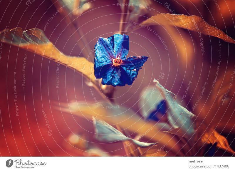 blau geärgert elegant Stil Natur Herbst Schönes Wetter Pflanze Blume Sträucher Wildpflanze Blatt Zweige u. Äste Blütenblatt Garten Farbfleck Bläuling Blühend