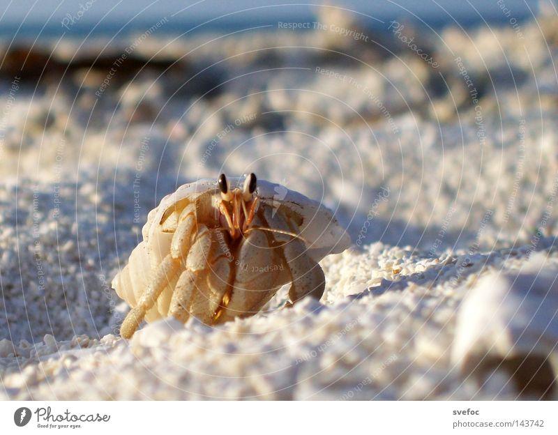 Diesen Sommer trägt man Muschel Meer Krebstier Ferien & Urlaub & Reisen Strand Sand Krabbe Tier Stielauge Beine Einsiedlerkrebs Schalenweichtier Makroaufnahme