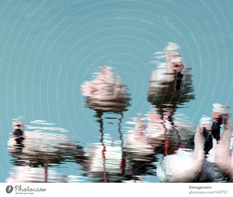 Flauschige Flamingos flanieren im flachen Wasser exotisch Wellen Tier Himmel Teich See Vogel Tierpaar nass blau rosa schwarz weiß Kräusel gefiedert Feder