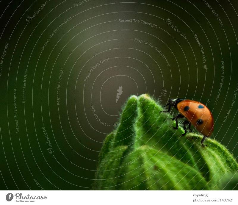 up in the sky Käfer Punkt Marienkäfer Blattknospe Blütenknospen grün Insekt rot Makroaufnahme Nahaufnahme