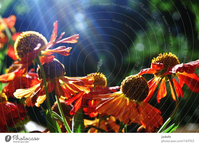 so farbenfroh... Glück harmonisch Erholung Sommer Garten Natur Pflanze Blume Blüte Blühend Wachstum ästhetisch gelb grün rot rein Vergänglichkeit gedeihen
