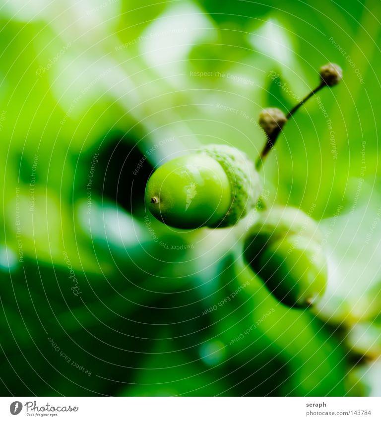 Quercus Eiche Pflanze Buchengewächs Biologie hellgrün grasgrün Blatt Licht weich Stengel 2 Schlagschatten frisch Eichenblatt Botanik Makroaufnahme Nahaufnahme