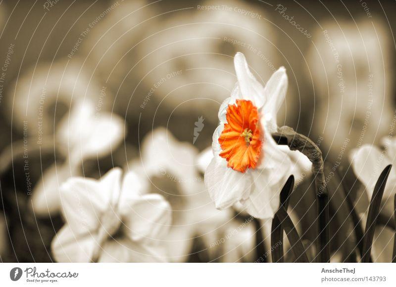 das gelbe vom ei Blume Frühling Blüte Sepia Gelbe Narzisse Wiese Deutschland Blühend Pflanze