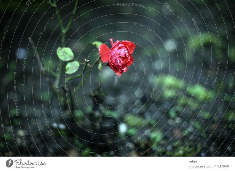 Es ist kalt. Natur Pflanze Herbst Winter Klima Klimawandel Wetter schlechtes Wetter Regen Eis Frost Blume Rose Blüte Garten Rosengarten Rosenblüte nass schön