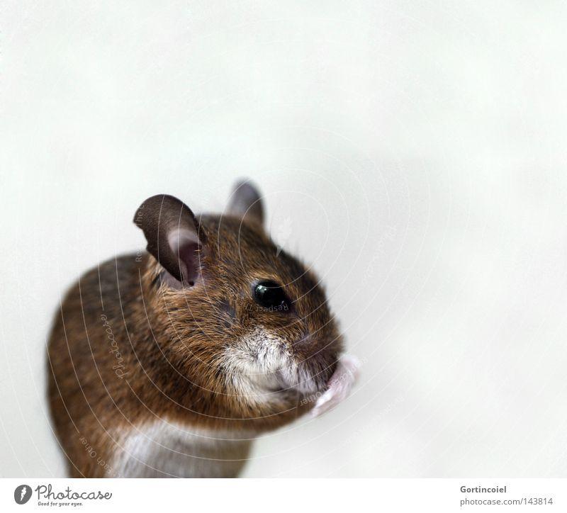 Frau Maus schön Tier braun klein Freisteller Tiergesicht Reinigen Fell niedlich tierisch Säugetier Gesicht Pfote Haustier Schnauze