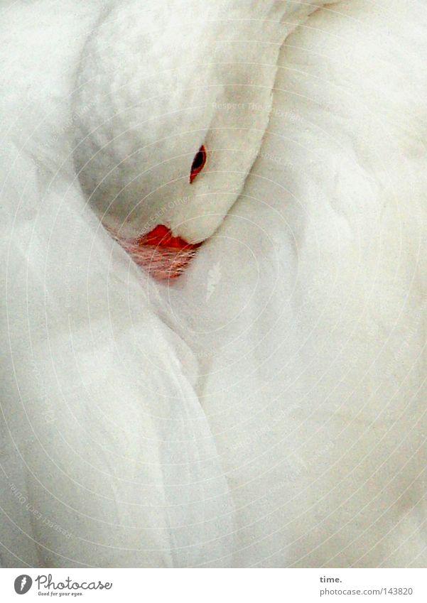 Morgen ist auch noch ein Tag schön ruhig Vogel Flügel schlafen weiß friedlich Frieden Gans Feder Rückzug Schnabel Federvieh so tun als ob Märchenfigur Farbfoto