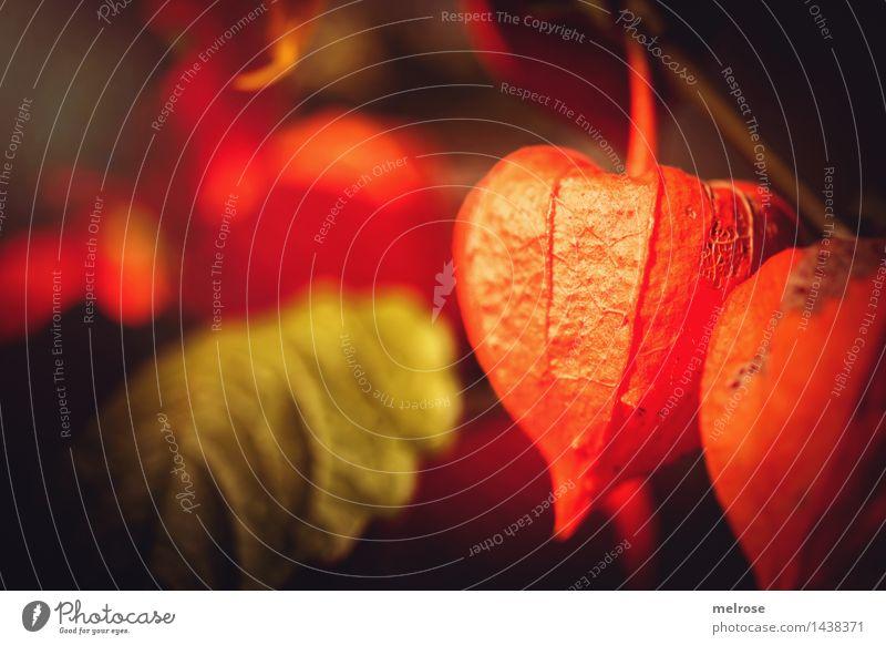 """mir war grad so """"orange"""" Südfrüchte Physalis elegant Stil Natur Sommer Schönes Wetter Pflanze Blüte Wildpflanze Lampe Blütenpflanze Pflanzenteile Frucht Blatt"""