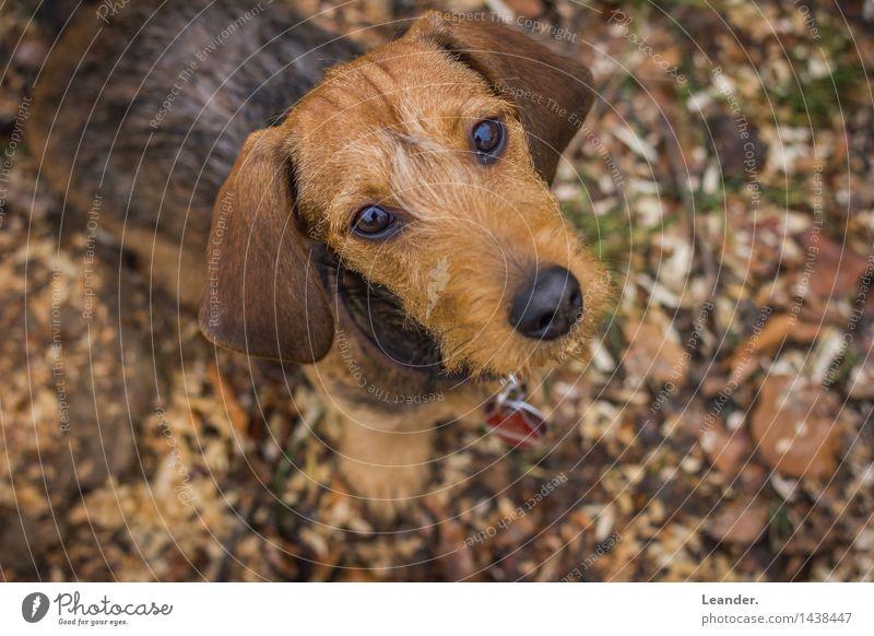 Dackel Hund Tier Glück klein einzigartig niedlich Abenteuer Haustier Identität Welpe Fährte