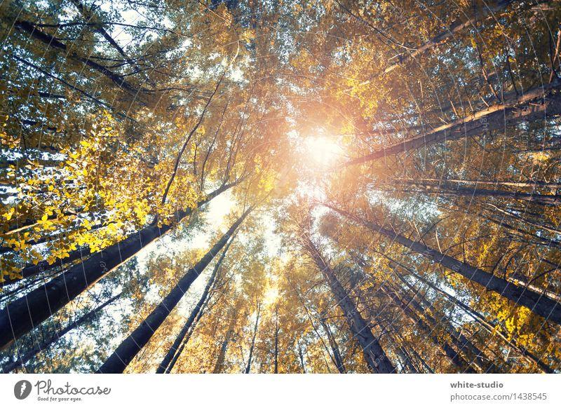 Weit hinauf! Zufriedenheit Erholung ruhig Meditation außergewöhnlich Wald Froschperspektive Waldsterben Herbst herbstlich Herbstfärbung Herbstwald Natur