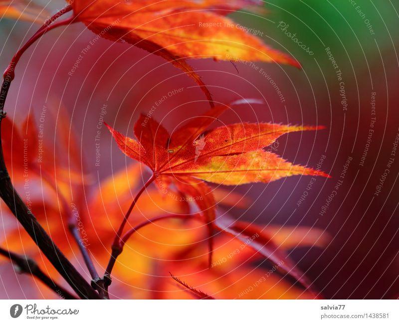 Ahornblätter Umwelt Natur Pflanze Herbst Sträucher Blatt Ahornzweig Herbstfärbung Ahornblatt Park leuchten ästhetisch Spitze Wärme gelb grün orange rot Stimmung