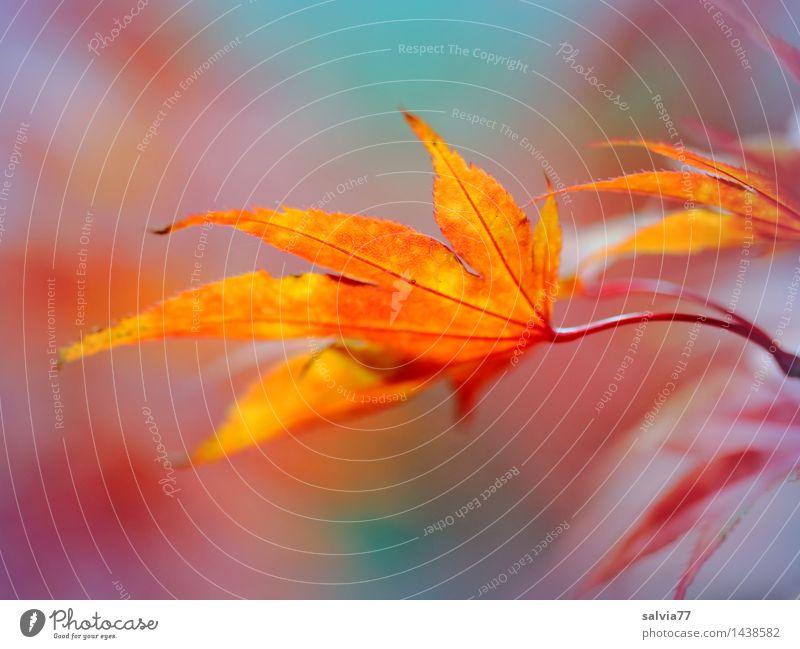 Farbenspiel Umwelt Natur Tier Herbst Pflanze Blatt Ahornblatt Herbstfärbung schön blau mehrfarbig gelb orange rot Leichtigkeit Wandel & Veränderung ästhetisch