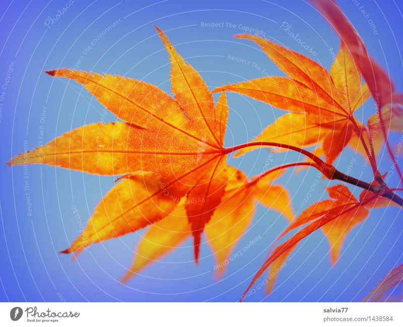 Blätterleuchten Umwelt Natur Pflanze Himmel Wolkenloser Himmel Herbst Blatt Ahornblatt Ahornzweig herbstlich Herbstfärbung Herbstbeginn Park ästhetisch positiv