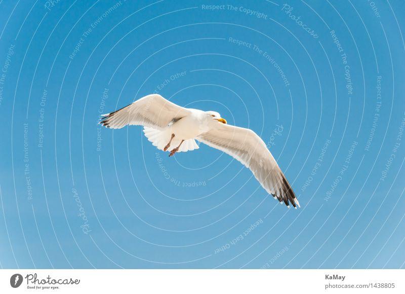"""Eleganter Flugkünstler Natur Pflanze Luft Schönes Wetter Norderney Deutschland Europa Tier Wildtier Vogel """"Silbermöwe Möwe Larus argentatus"""" 1 fliegen elegant"""