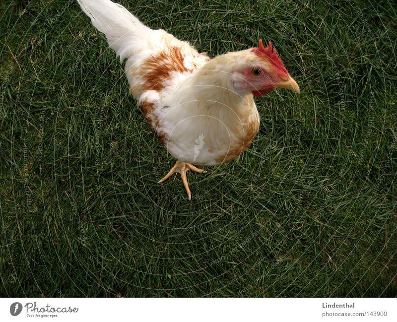 Huhn Henne grün Tier Gras Vogel Ei Haushuhn Krallen Hallo