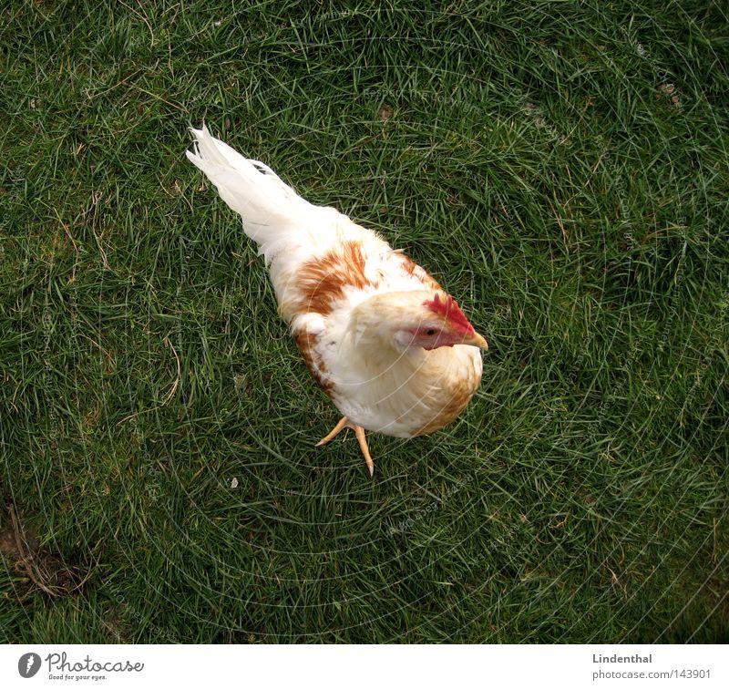 Hello again, Chick grün Tier Gras Vogel Ei Haushuhn Krallen Hallo