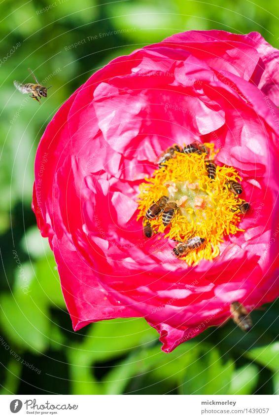 Bienenparty Honig Honigbiene Ernährung Bioprodukte Slowfood Tee Sommer Imker Umwelt Natur Pflanze Frühling Schönes Wetter Rose Nutzpflanze Garten Park Wiese