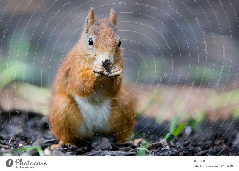 Eichhorn Eichhörnchen Nagetiere orange braun Fell nagen Fressen Ernährung Futter sitzen Blick entdecken Tier Boden Schatten Natur Säugetier Europa Sciurus