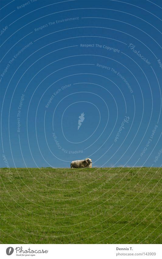 Määäh #1 Ernährung Ferne Sommer Tier Himmel Wolken Gras Wiese Feld Nordsee Herde weich blau gold grün weiß Sehnsucht Schaf Deich undefined Wattenmeer Wolle