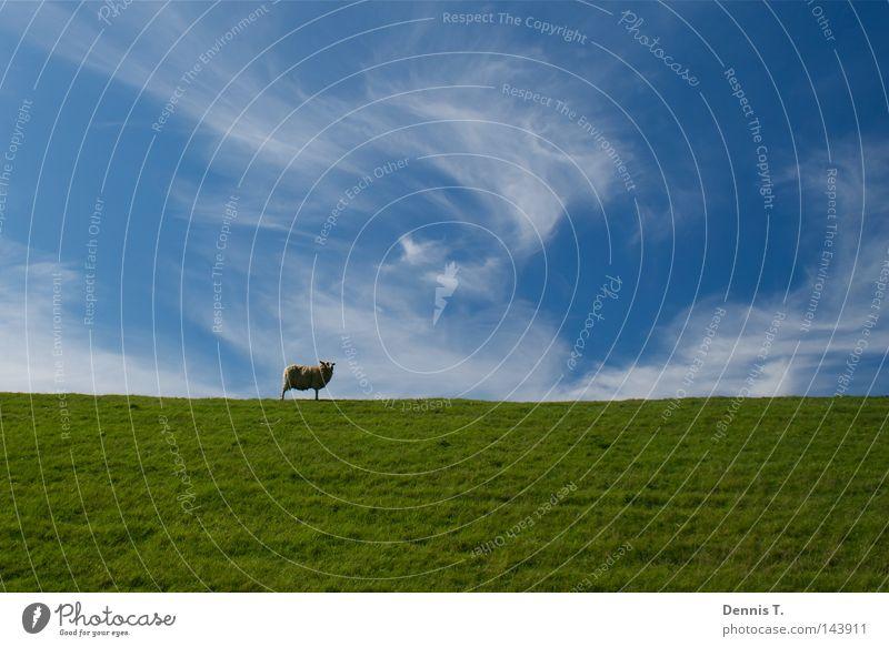 Määäh #2 Ernährung Ferne Sommer Tier Himmel Wolken Gras Wiese Feld Nordsee 1 Herde weich blau gold grün weiß Sehnsucht Schaf Deich undefined Wattenmeer Wolle