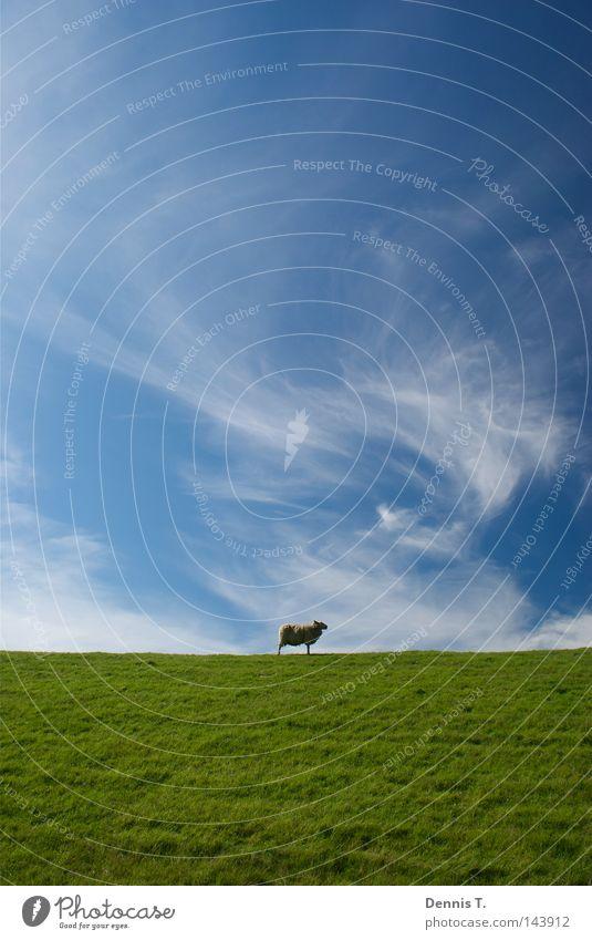Määäh #3 Ernährung Ferne Sommer Natur Tier Himmel Wolken Gras Wiese Feld Nordsee Herde weich blau gold grün weiß Sehnsucht Schaf Deich undefined Wattenmeer