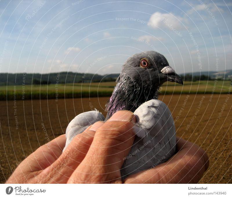 SET HER FREE I Taube Hand gefangen freilassen Finger festhalten Streicheln Horizont Brieftaube Vogel fliegen Freiheit Himmel Luftverkehr