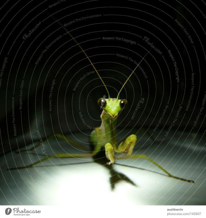 Auf zum Gebet #1 grün Tier Angst entdecken Insekt Gebet gefangen Fühler erstaunt Götter Gottesanbeterin